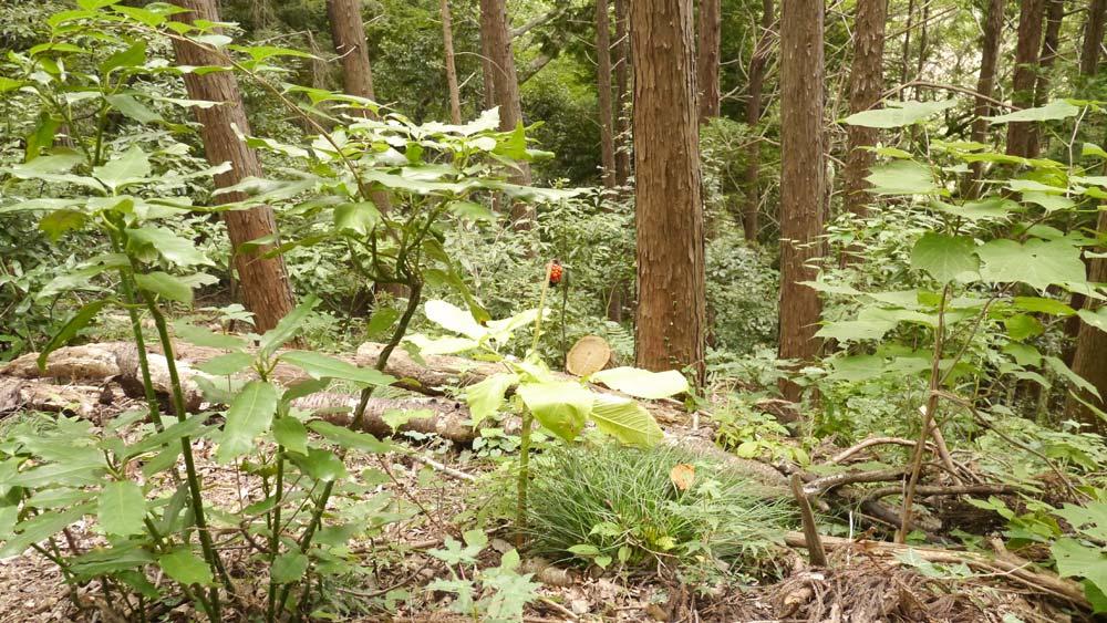 高尾山 山の中の植物